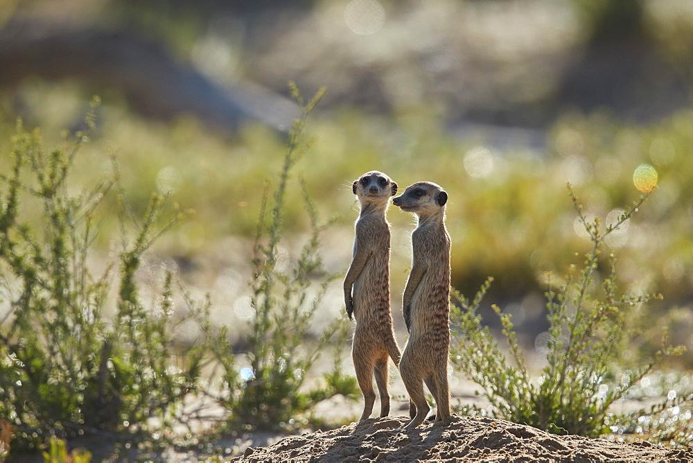Two Meerkat or Suricate (Suricata suricatta) prairie-dogging, Kgalagadi Transfrontier Park, South Africa - 764-5923