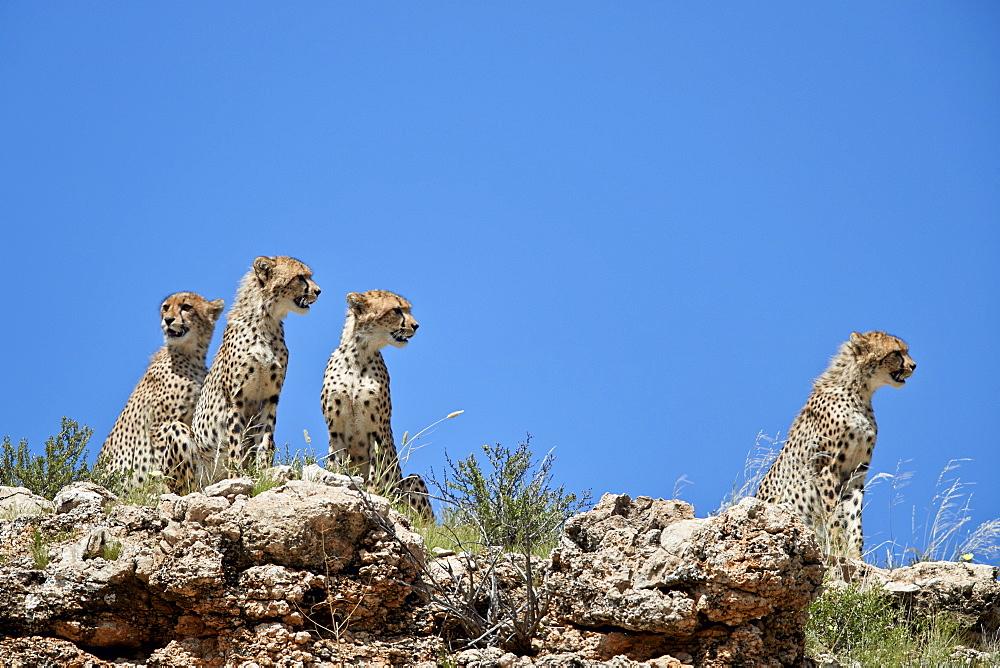 Four Cheetah (Acinonyx jubatus), Kgalagadi Transfrontier Park, South Africa - 764-5926