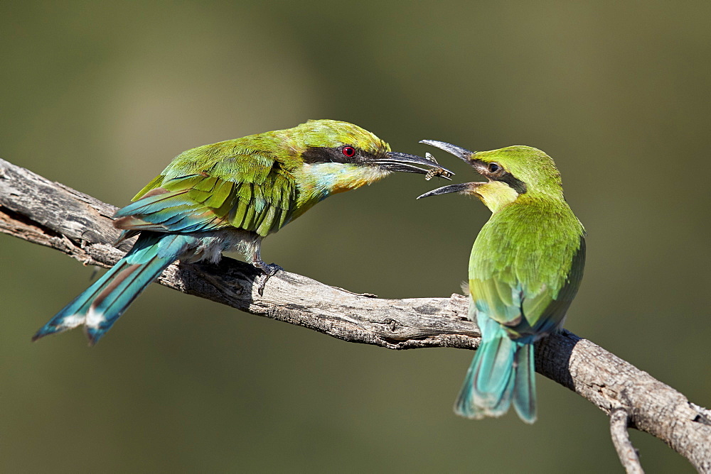 Swallow-tailed bee-eater (Merops hirundineus) adult feeding young, Kgalagadi Transfrontier Park, South Africa, Africa - 764-5927