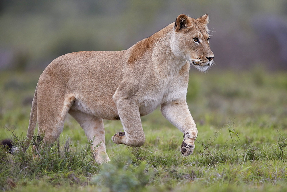 Lioness (Lion, Panthera leo) running, Addo Elephant National Park, South Africa, Africa - 764-5929
