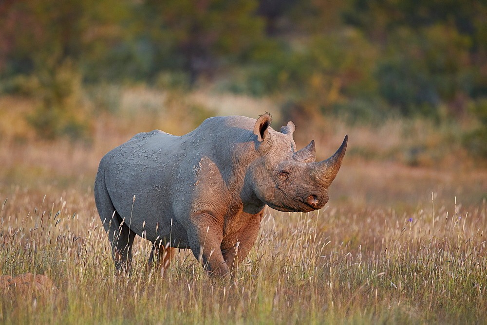 Black Rhinoceros (hook-lipped rhinoceros) (Diceros bicornis), Mountain Zebra National Park, South Africa, Africa - 764-5932