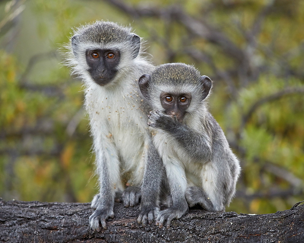 Two young Vervet Monkey (Chlorocebus aethiops), Mountain Zebra National Park, South Africa, Africa