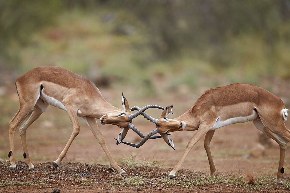 Impala (Aepyceros melampus) bucks sparring, Kruger National Park, South Africa, Africa