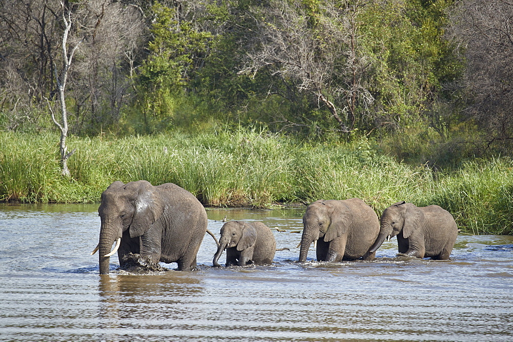 Line of African Elephant (Loxodonta africana) crossing a river, Kruger National Park, South Africa, Africa - 764-5937
