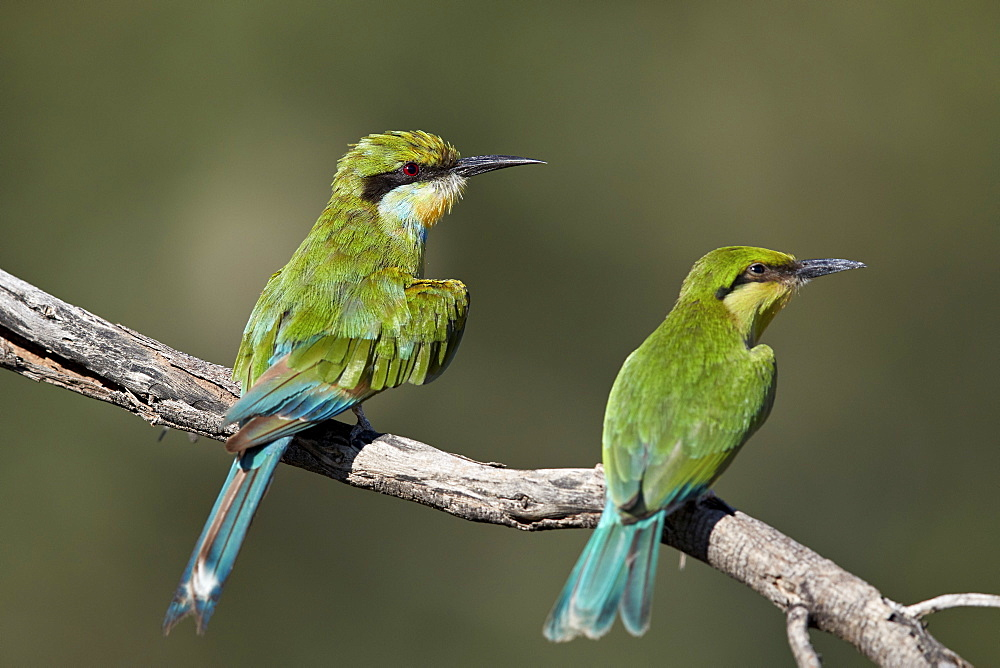 Swallow-tailed bee-eater (Merops hirundineus) adult and juvenile, Kgalagadi Transfrontier Park, South Africa, Africa - 764-5943