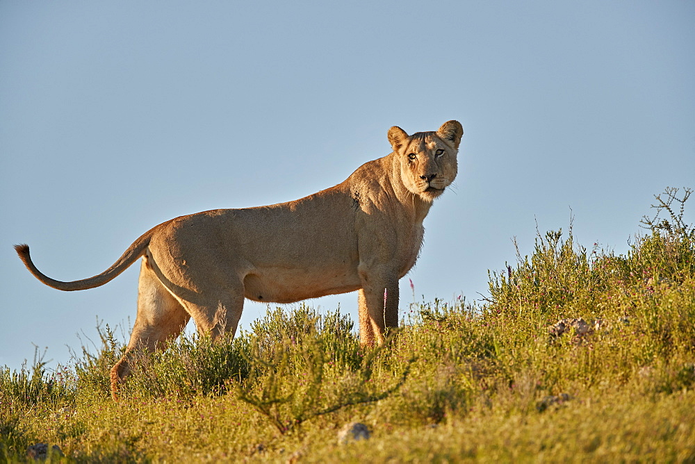 Lioness (Lion, Panthera leo), Kgalagadi Transfrontier Park, South Africa - 764-5946