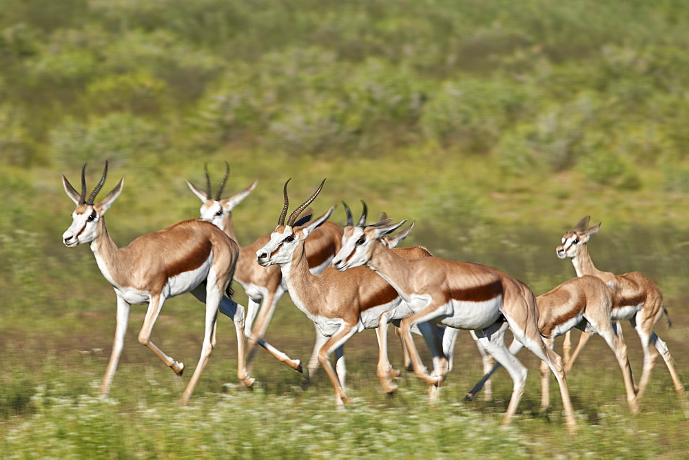 Group of Springbok (Antidorcas marsupialis) running, Kgalagadi Transfrontier Park, South Africa