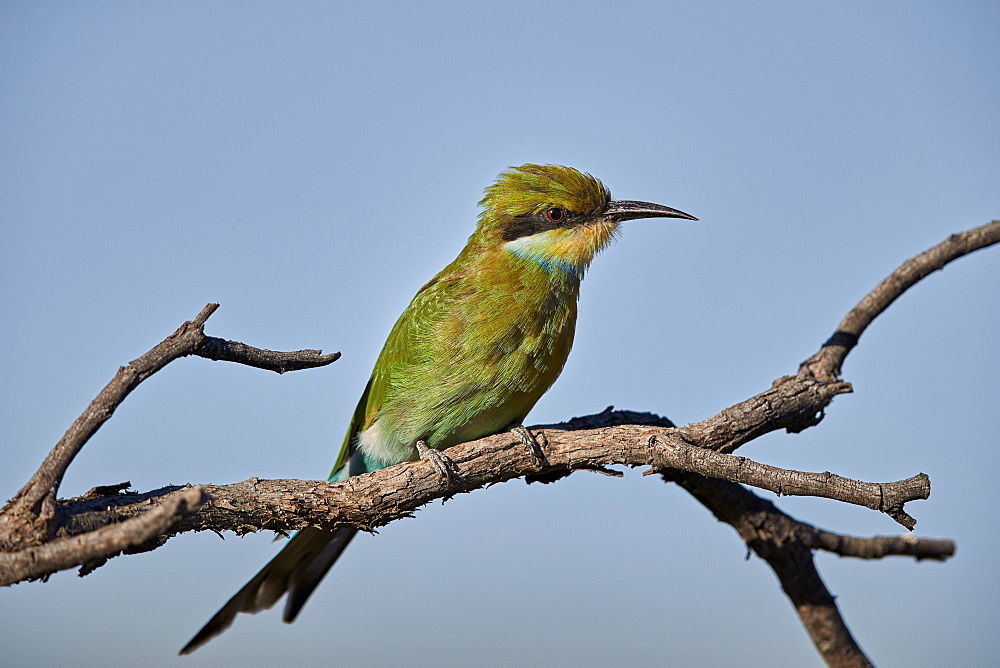Swallow-Tailed Bee-Eater (Merops hirundineus), Kgalagadi Transfrontier Park, South Africa - 764-5951