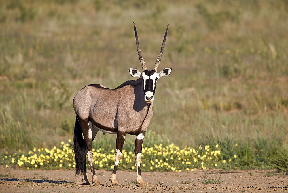 Gemsbok or South African Oryx (Oryx gazella) buck, Kgalagadi Transfrontier Park, South Africa