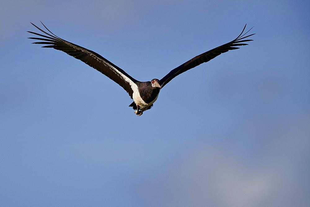 Abdim's stork (Ciconia abdimii) in flight, Kgalagadi Transfrontier Park, South Africa, Africa