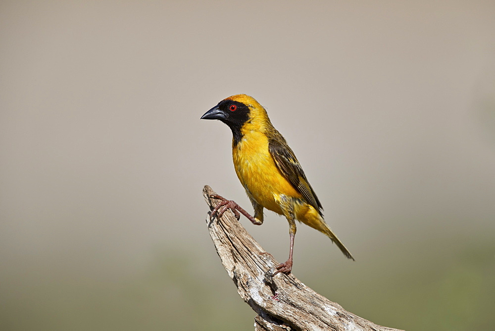 Southern Masked Weaver (Ploceus velatus), male, Kgalagadi Transfrontier Park, South Africa - 764-5972