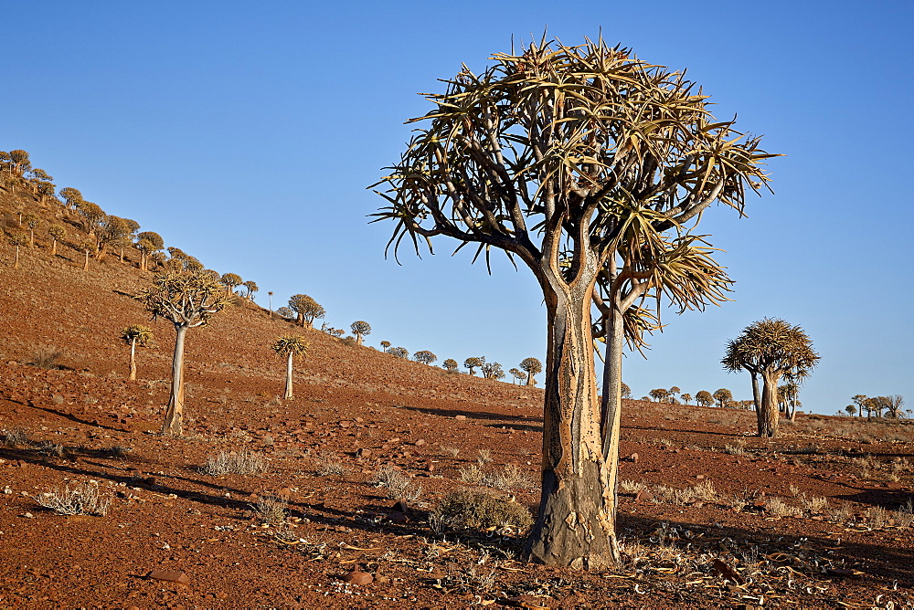 Quiver Tree or Kokerboom (Aloe dichotoma), Gannabos; Namakwa, Namaqualand, South Africa