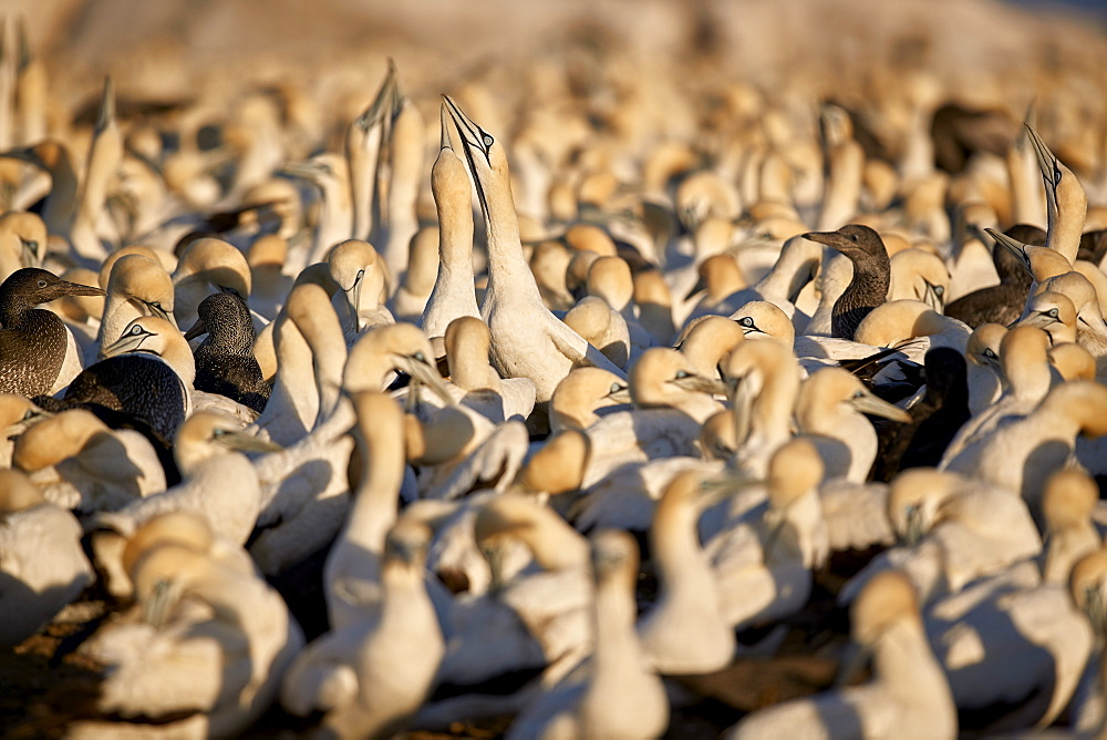 Cape Gannet (Morus capensis) colony, Bird Island, Lambert's Bay, South Africa, Africa - 764-5984