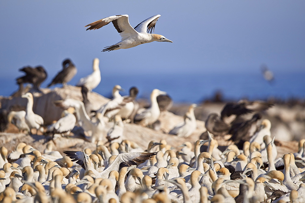 Cape Gannet (Morus capensis) flying over the colony, Bird Island, Lambert's Bay, South Africa