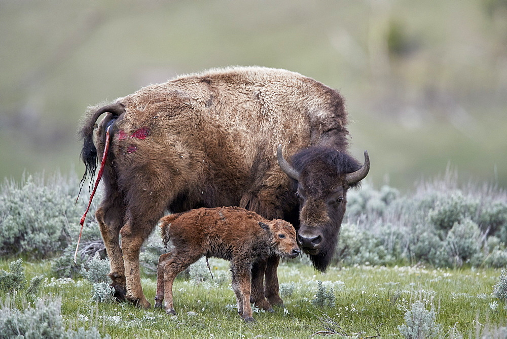 Bison (Bison bison) cow and newborn calf, Yellowstone National Park, Wyoming, United States of America, North America - 764-5991