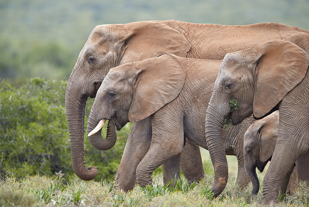 African Elephant (Loxodonta africana) group, Addo Elephant National Park, South Africa, Africa - 764-5992