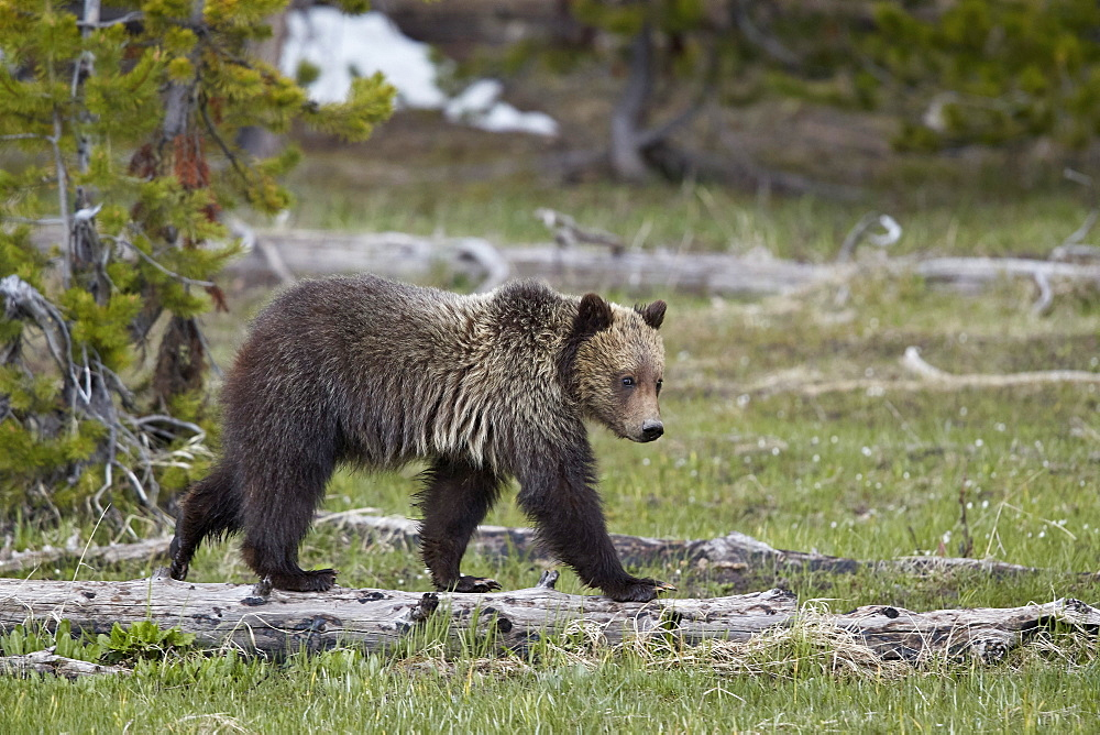 Grizzly Bear (Ursus arctos horribilis), yearling cub, Yellowstone National Park, Wyoming, United States of America, North America - 764-5993