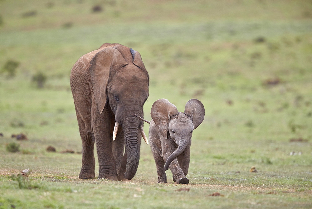 African Elephant (Loxodonta africana) mother and young, Addo Elephant National Park, South Africa