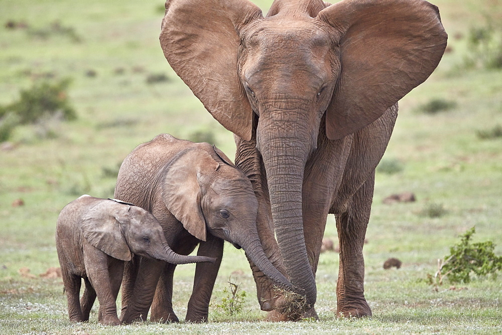 African Elephant (Loxodonta africana) mother and two young, Addo Elephant National Park, South Africa