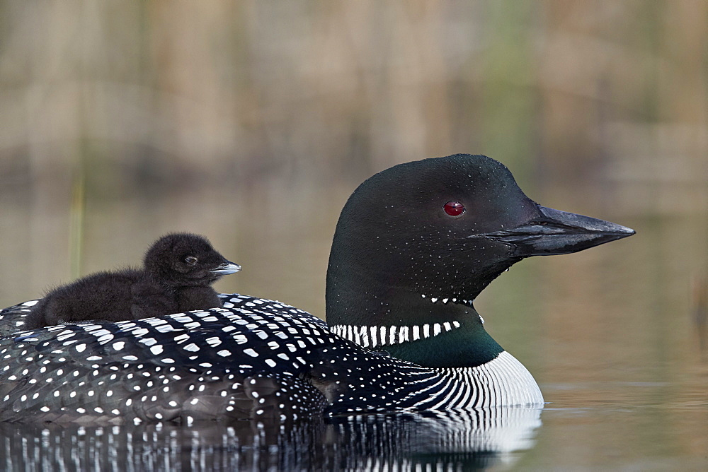Common Loon (Gavia immer) adult with a chick on its back, Lac Le Jeune Provincial Park, British Columbia, Canada, North America - 764-5998
