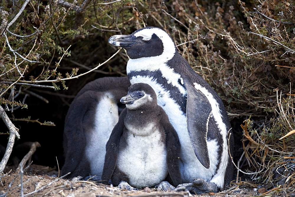African Penguin (Spheniscus demersus) chicks and parent, Simon's Town, South Africa, Africa