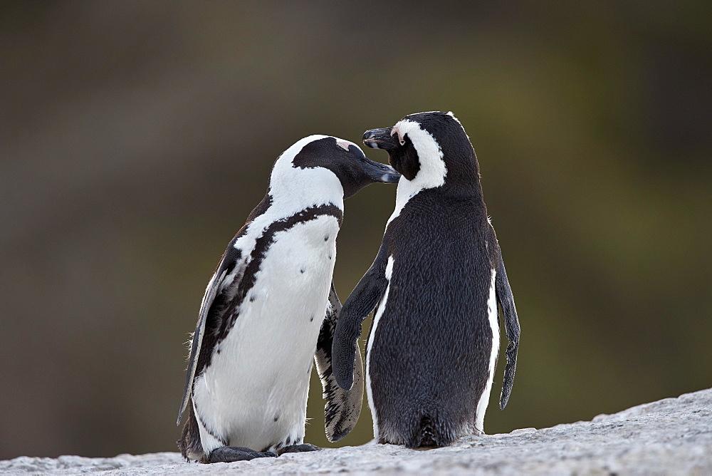 African Penguin (Spheniscus demersus) pair, Simon's Town, South Africa, Africa