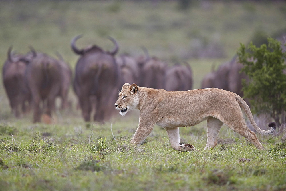 Lioness (Panthera leo) hunting a Cape Buffalo herd, Addo Elephant National Park, South Africa, Africa