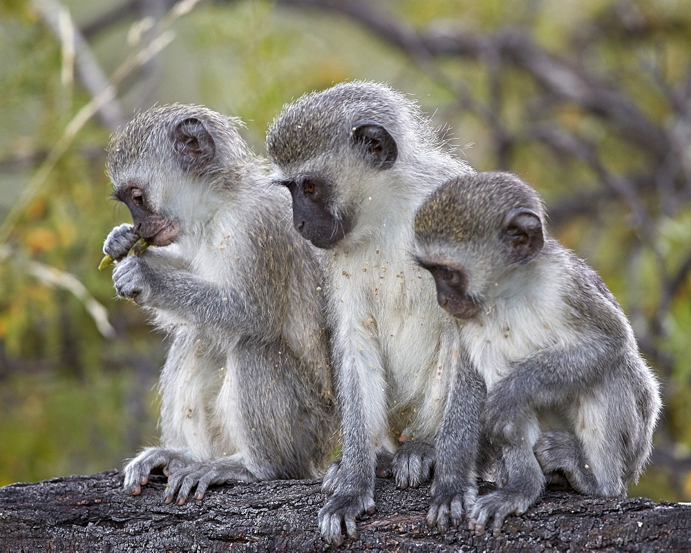 Three young Vervet Monkey (Chlorocebus aethiops), Mountain Zebra National Park, South Africa