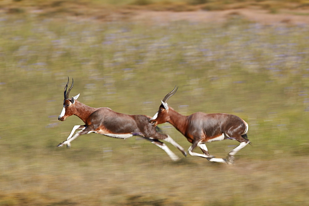 Blesbok (Damaliscus pygargus phillipsi), male chasing another, Mountain Zebra National Park, South Africa