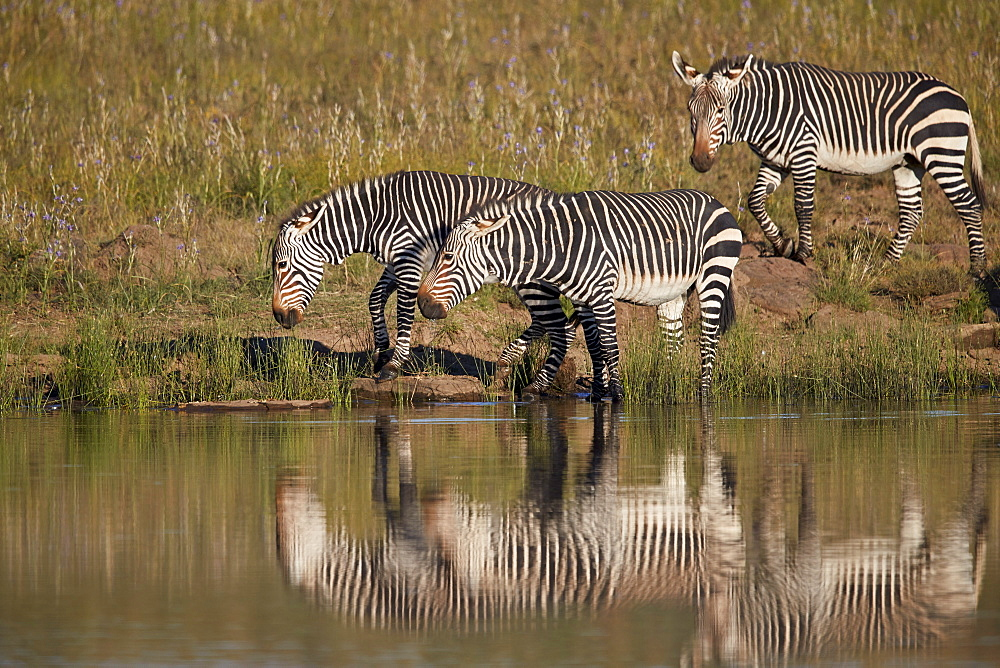Three Cape Mountain Zebra (Equus zebra zebra) drinking with reflection, Mountain Zebra National Park, South Africa, Africa