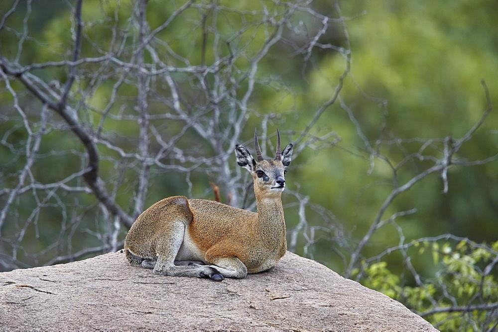 Klipspringer (Oreotragus oreotragus), male, Kruger National Park, South Africa, Africa