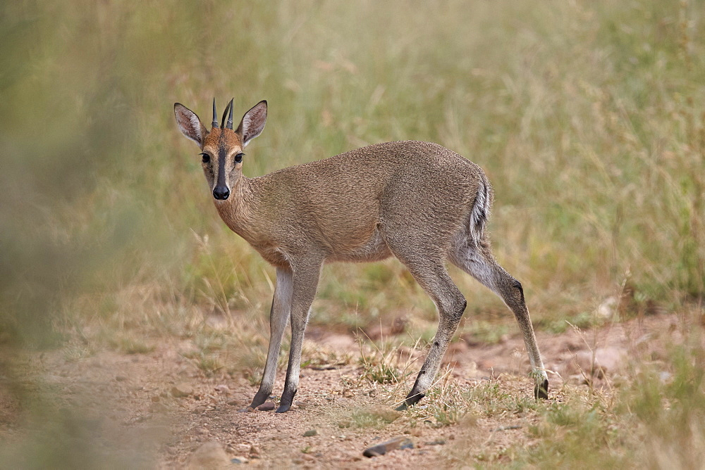 Common Duiker (Grey Duiker) (Bush?Duiker) (Sylvicapra?grimmia), Kruger National Park, South Africa, Africa