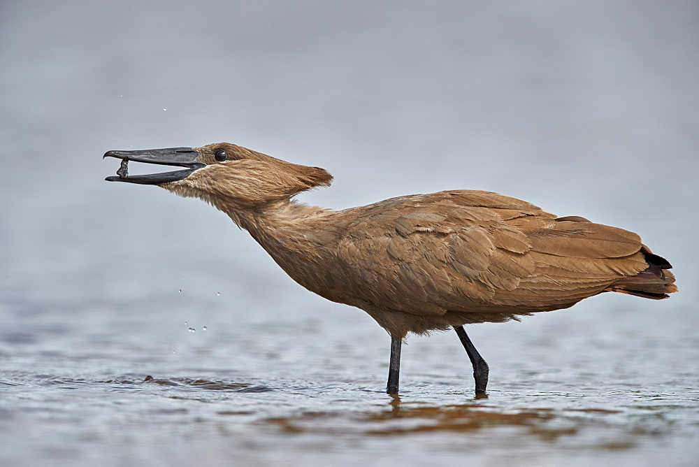 Hamerkop (Scopus umbretta) with potential food, Kruger National Park, South Africa