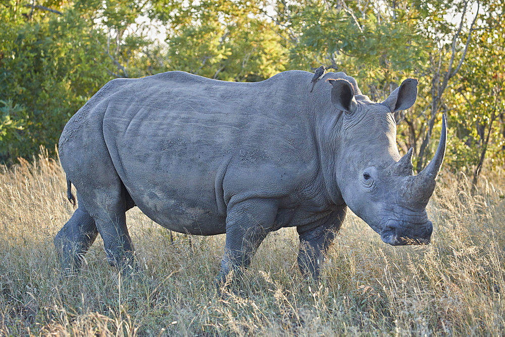 White Rhinoceros (Ceratotherium simum), Kruger National Park, South Africa, Africa