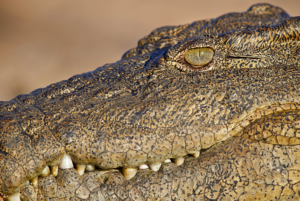 Nile Crocodile (Crocodylus niloticus), Kruger National Park, South Africa, Africa