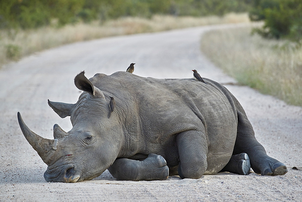 White Rhinoceros (Ceratotherium simum) with Red-billed Oxpecker (Buphagus erythrorhynchus), Kruger National Park, South Africa, Africa