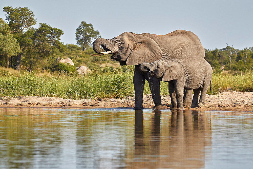 Two African Elephant (Loxodonta africana) drinking, Kruger National Park, South Africa