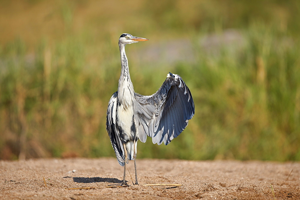 Gray Heron (Grey Heron) (Ardea cinerea) drying a wing, Kruger National Park, South Africa, Africa