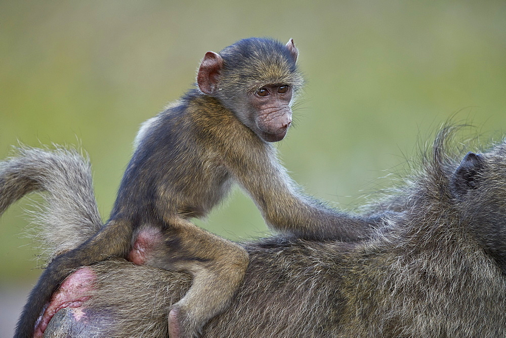 Chacma Baboon (Papio ursinus) infant riding on its mother???s back, Kruger National Park, South Africa