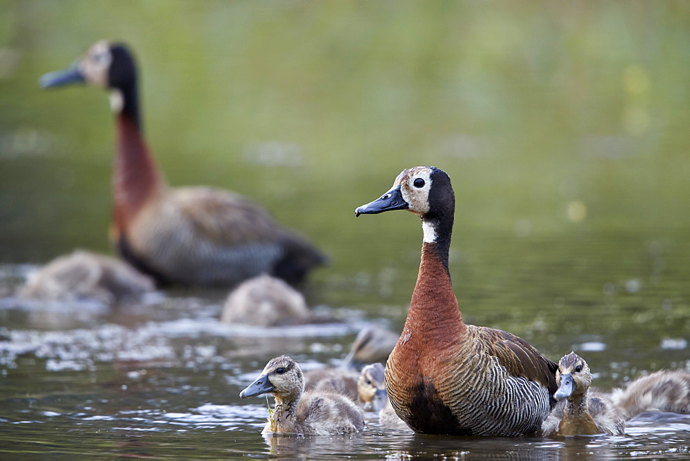White-faced Whistling Duck (Dendrocygna viduata) adults and ducklings, Kruger National Park, South Africa, Africa