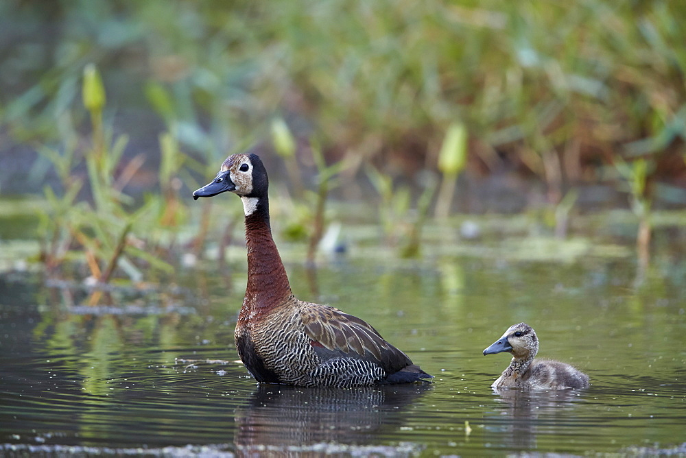 White-faced Whistling Duck (Dendrocygna viduata) adult and duckling, Kruger National Park, South Africa, Africa
