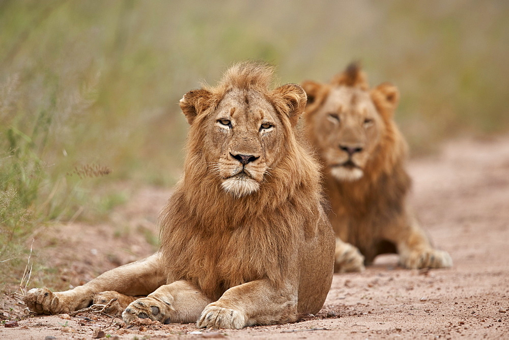 Two male Lion (Panthera leo), Kruger National Park, South Africa, Africa