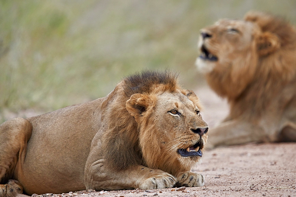 Two male Lion (Panthera leo) roaring, Kruger National Park, South Africa, Africa