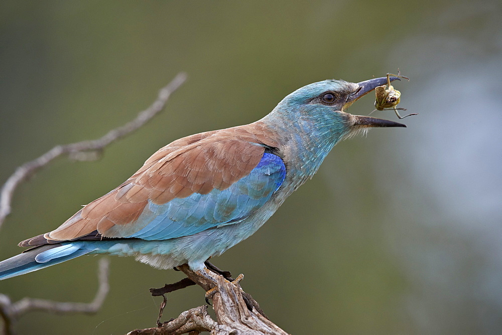 European Roller (Coracias garrulus) flipping a grasshopper, Kruger National Park, South Africa, Africa