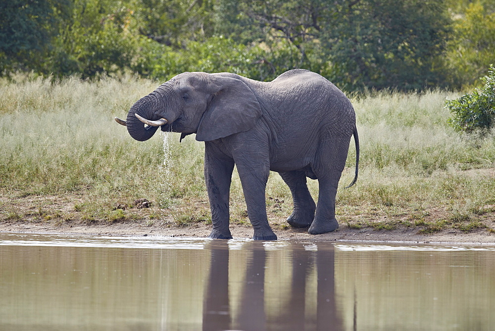 African Elephant (Loxodonta africana) bull drinking, Kruger National Park, South Africa - 764-6136