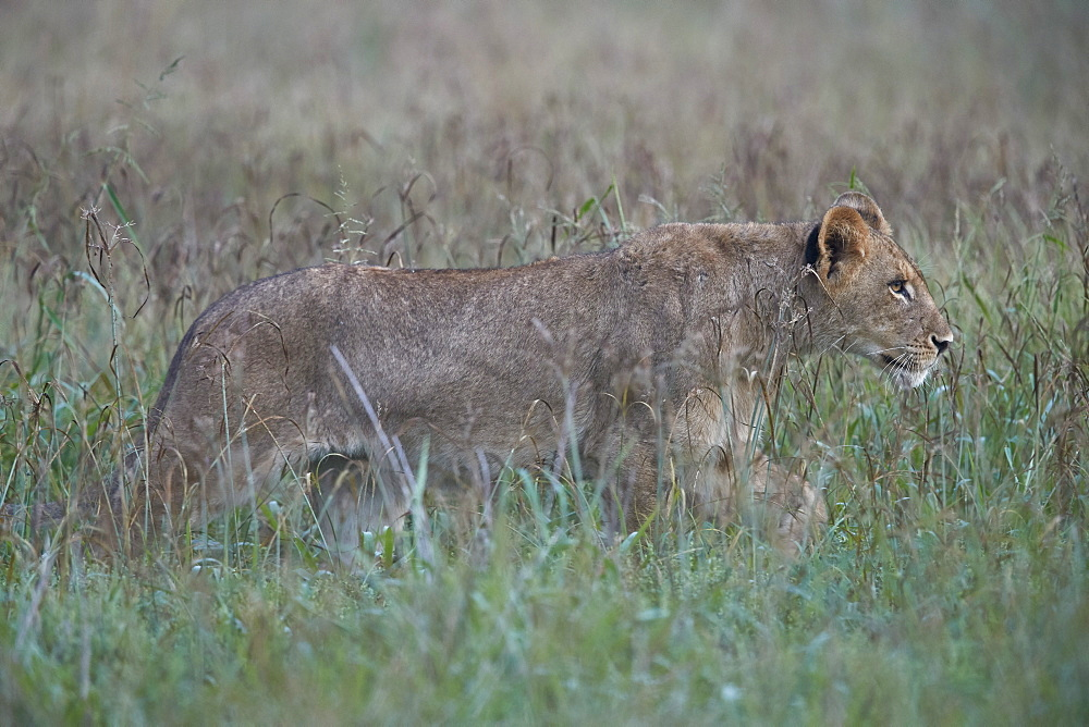 Lion (Panthera leo) cub, Kruger National Park, South Africa, Africa