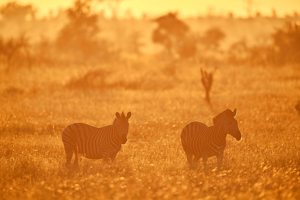 Chapman's Zebra (Plains Zebra) (Equus quagga chapmani) in golden backlight, Kruger National Park, South Africa, Africa