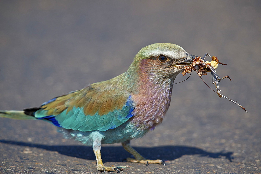 Lilac-breasted Roller (Coracias caudata) with an insect carcass, Kruger National Park, South Africa, Africa - 764-6145