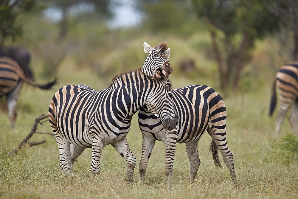 Chapman's Zebra or Plains Zebra (Equus quagga chapmani) sparring, Kruger National Park, South Africa - 764-6148