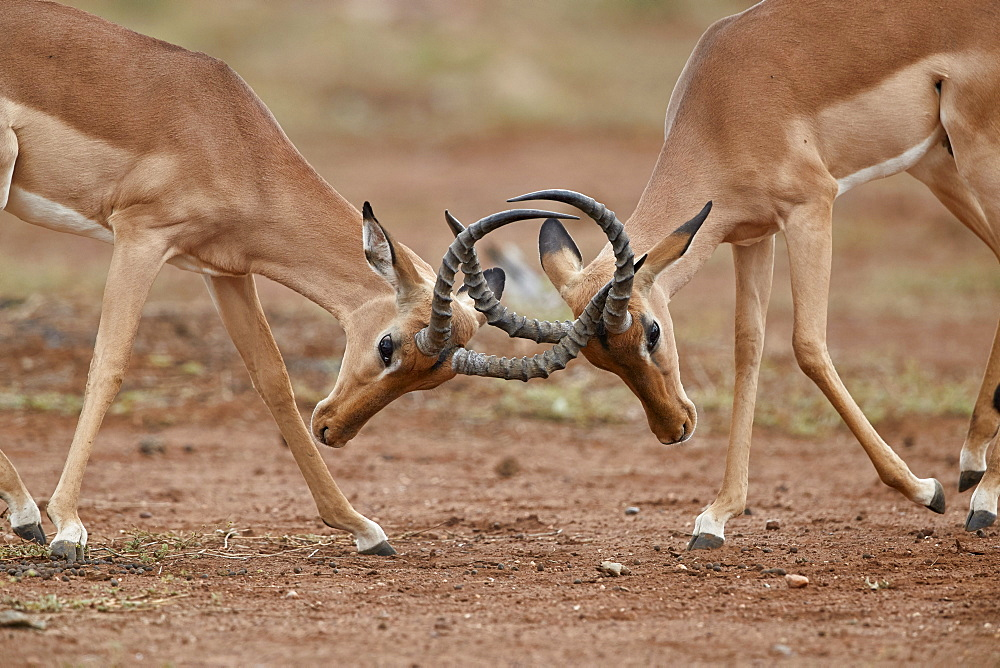 Impala (Aepyceros melampus) bucks sparring, Kruger National Park, South Africa - 764-6151